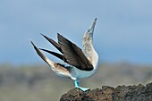 Blue-footed Booby (Sula nebouxii) Roosting, displaying, Galapagos Islands National Park, San Cristobal, Lobos Island, Ecuador.