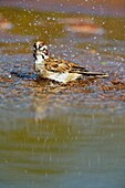 Lark Sparrow (Chondestes grammacus) Bathing at the waterhole, Rio Grande City, Texas, USA.