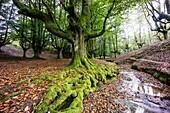 Spain, Basque Country, Euzkadi, Alava, Vizcaya, Gorbea Natural Park, Hayedo de Otzarreta, Beech trees (Fagus sylvatica)