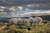 Rioja wine region, blossom almond trees and vines in San Asensio, La Rioja, Spain.