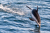 A Pacific White Sided dolphin diving back into the water off the central California coast.