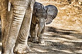 Baby Elephant staying close to it´s mother.