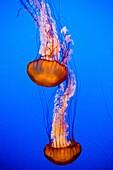 Two jellyfish in the aquarium