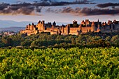 Vineyards and medieval fortified town at sunset, Carcassonne, Aude, Languedoc-Roussillon, France, Europe