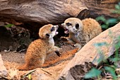 Meerkat or Suricate (Suricata suricatta), young animals (captive)