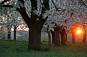 Cherry orchard in spring, sunset, Franconia, Bavaria, Germany.