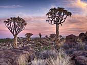 Namibia, Keetmanshoop, Kokerboom Forest, Quiver Tree, Aloe dichotoma