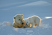 Polar bear (Ursus maritimus) female coming out the den with one three month cub in march. Wapusk National Park, Churchill, Manitoba, Canada.