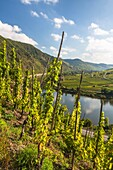Vineyards of the Calmont, Europe´s steepest vineyard location, and the river Moselle, Bremm, Rhineland-Palatinate, Germany, Europe