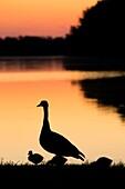 Batterson Park Pond sunrise with Canada goose, Batterson Park Pond State Boat Launch, New Britain, Connecticut.