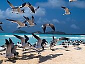 Marine bird Flying Gulls Bonaparte Chroicocephalus philadelphia 1 Animal Flying Gull Bonaparte in sky (Chroicocephalus philadelphia), South America archipiélago Los Roques Venezuela´