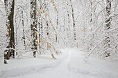 Snow-covered forest in Lincoln New Hampshire USA during the winter months, after a snow storm.