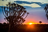 Keetmanshoop, Namibia - Quiver tree forest silhouetted at dusk in the Playground of the Giants.
