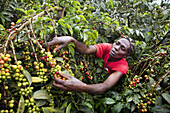 coffee production in Kenya.