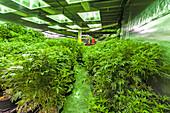 The Green Mile is a 150 foot long room where pot plants are kept in their vegetative stage. The plants receive 18-24 hours of light per day. The plants are in a growing stage, not flowering. Clippings are taken to create the next generation of plants. Med