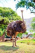Ostrich (or emu) at the Honolulu Zoo looking towards the camera in Oahu Hawaii.