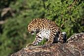 Watchful Amur leopard (Panthera pardus orientalis) on a rock, captive, California, USA
