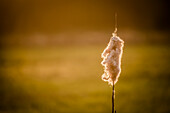 Blown bulrush in the warm backlit of the sunset -  Germany, Brandenburg, Spreewald