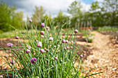Chive in a garden