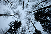 bleak leafless trees in front of clear sky, charcoal production, Aalen, Baden-Wuerttemberg, Germany