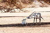 A Arabian Oryx (Oryx leucoryx) The Arabian oryx is a large white antelope, Almost totally extinct in the wild several groups have since been reintroduced to the wild Photographed in Israel, Aravah desert