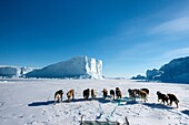 Inuit hunter and his dog team travelling on the sea ice. Dog teams must be rested every hour for 10 minutes.