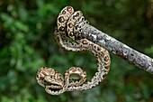 Amazon Tree Boa (Corallus hortulanus), Boa family (Boidae), Amazon rainforest, Yasuni National Park, Ecuador.