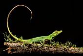 Boulenger Green Anole lizard (Anolis chloris), Iguana family (Iguanidae), Amazon rainforest, Yasuni National Park, Ecuador.