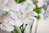 white alstroemeria symbolizes friendship and devotion.