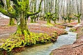 Beechwood and rivulet. Otzarreta, Gorbeia Natural Park, Biscay, Spain, Europe.