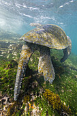 Adult male green sea turtle, Chelonia mydas, feeding underwater near Isabela Island, Galapagos Islands, Ecuador.
