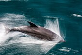 Adult bottlenose dolphin, Tursiops truncatus, motion blur image off Isla San Pedro Martir, Baja California Norte, Mexico.