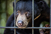 A young sun bear, Helarctos malayanus, confiscated from the pet trade, Camp Leakey, Tanjung Puting NP, Borneo, Indonesia.