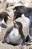 Rockhopper penguin (Eudyptes chrysocome), subspecies southern rockhopper penguin (Eudyptes chrysocome chrysocome). Feeding of chick. South America, Falkland Islands, January.