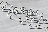 Rockhopper penguin (Eudyptes chrysocome), subspecies southern rockhopper penguin (Eudyptes chrysocome chrysocome). landing as a group to give individuals safety in numbers, crossing the wet beach. South America, Falkland Islands, January.