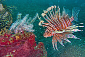 Tall-spine Lionfish, Pterois sp, Lembeh, North Sulawesi, Indonesia, Asia.