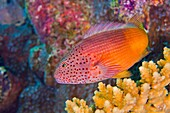 Freckled Hawkfish, Paracirrhites forsteri, Coral Reef, South Ari Atoll, Maldives, Indian Ocean, Asia.
