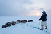Avigiaq Petersen, Inuit hunter controlling his dog team with a whip made from seal intestine on the sea ice.