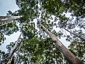 Looking up at the tree tops on a forest of gum trees. Cape Town, South Africa