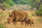 A female white rhino stands still in the veld as her calf takes some milk Rhinoceros abbreviated as rhino, is a group of five extant species of odd-toed ungulates in the family Rhinocerotidae Two of these species are native to Africa and three to Southern