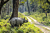 One-horned Rhino (Rhinoceros unicornis). Chitwan National Park (CNP), Nepal, Asia.