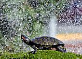 big tourist attraction in center of Sibenik, fountain full of turtles, Sibenik, Dalmatia, Croatia, Europe.
