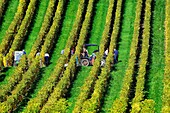 Europe, Switzerland, Canton Vaud, La Côte, Morges district, Aubonne vineyards, grape harvest time, people picking grapes