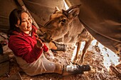 Reindeer being fed salt inside teepee after long winter in Hunkher mountains and taiga forest, northern Mongolia.