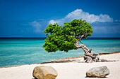 Weathered Fototi tree (often mistaken for Divi Divi) on the beach of Aruba, West Indies.