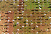 Aerial view of almond trees in flowers (Prunus dulcis), in the farm land, Mallorca lands, Balearic Island, Spain.