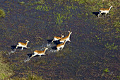 Aerial view of Red Lechwes group (Kobus leche), running in the floodplain, Okawango Delta, Botswana. The vast inland delta is formed from the Okavango River. This flows into the Delta, creating a beautiful mosaic of water channels, grasslands, forests and