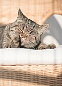 British shorthair cat lying in wicker chair licking paw with closed eyes. Peaceful and resting pet.