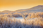 Sunset and trees in the frozen landscape, cold temperatures as low as -47 celsius, Lapland, Sweden.
