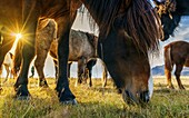 The Icelandic horse is a breed developed in Iceland that is long-lived and hardy. The Icelandic horse displays two gaits in addition to the typical walk, trot, and canter/gallop commonly displayed by other breeds.